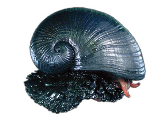snail, mit, gastropod, armor, sustainable design, green design, biomimicry, sea snail body armor