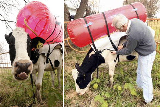 Burp Catching Backpack To Trap Cow Gas, cow gas, cow burp power, cow backpack, methane emissions, National Institute for Agricultural Technology, livestock industry, greenhouse gases, global warming, Guillermo Berro, Argentina