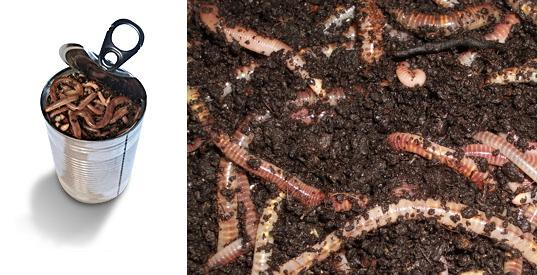 oxfam can of worms, sustainable farming worms, organic food worms, inhabitat green gift guide, green holiday gifts, gifts that give back, socially conscious design, sustainable design
